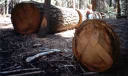 Logged 300 year old trees in Sequoia Grove, 2005