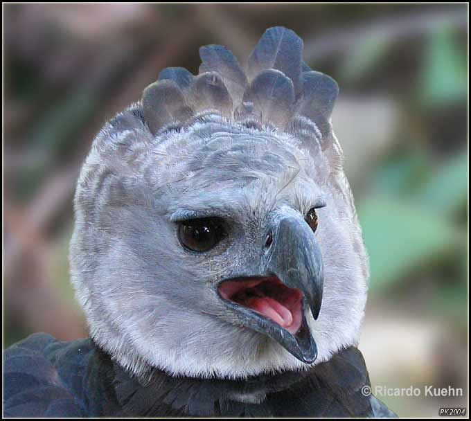 the harpy eagle american animals eagle en harpy reproduction