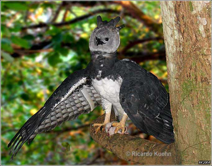 Image result for pics of a harpy eagle in its habitat
